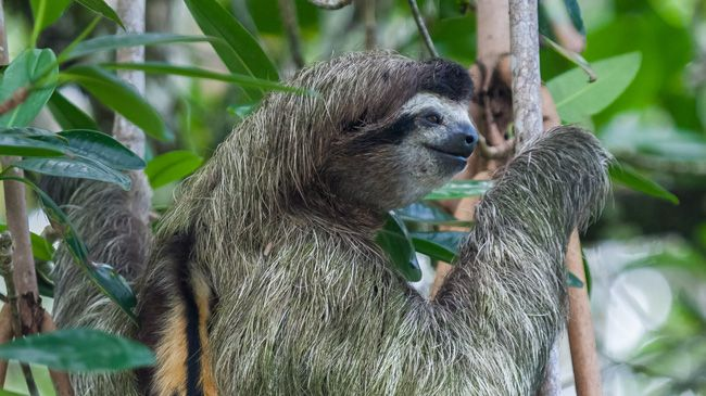 An algae covered three-toed sloth