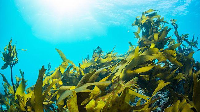 An ocean kelp forrest
