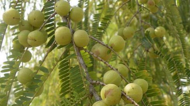 indian gooseberry amla fruit