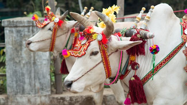 Holy cows in Myanmar, dressed in ceremonial finery