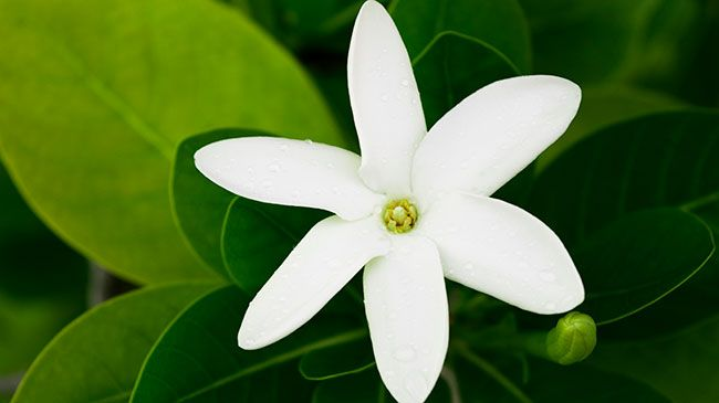Is monoi oil, Tahitian gardenia flower extract, good for my curly hair? The answer is YES!