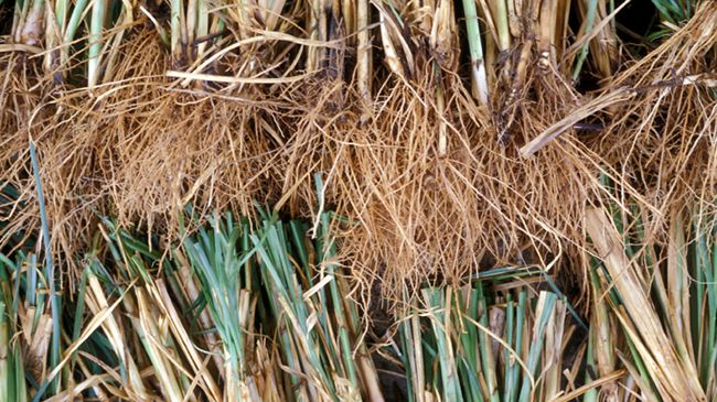 vetiver root for scalp