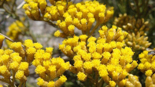 Helichrysum everlasting flower