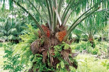 ojon palm nut oil