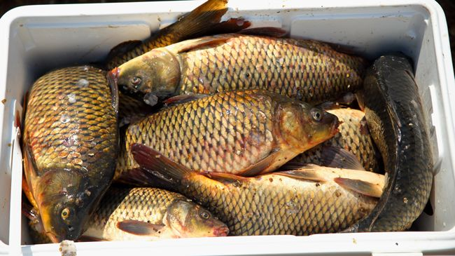 A cooler full of freshly caught carp awaiting their fate