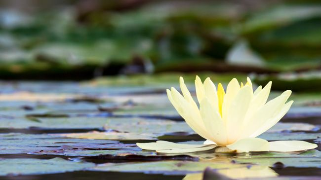 A Yellow Water lily on a pond covered in plant life