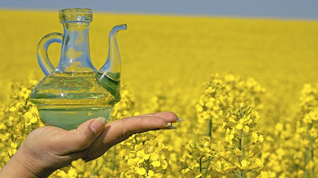Why You Should Use Rapeseed Oil For Your Scalp