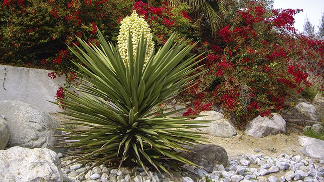 yucca plant with flowers