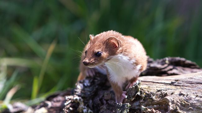 A small weasel sitting on a log