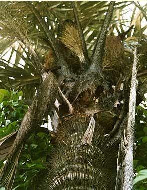 Babassu Palm